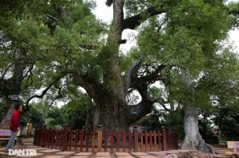 Cây dã hương kì vĩ lớn nhất thế giới tại Bắc Giang