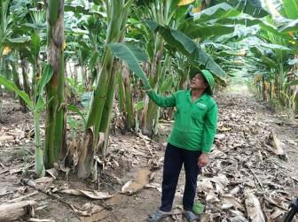 Nâng cao thu nhập từ trồng chuối sáp
