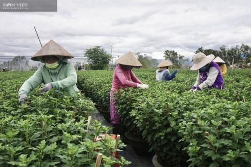 Đà Nẵng: Nông dân trồng hoa Tết thấp thỏm lo âu, vừa vặt lá, chăm cây vừa ngóng trông thương lái