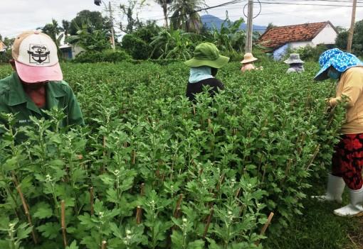 Nhiều vườn hoa cúc đẹp ở tỉnh Khánh Hòa lại vắng bóng người mua