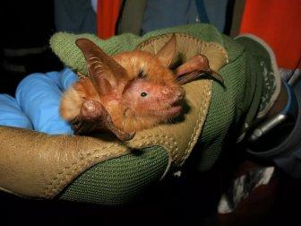 Phát hiện loài dơi màu cam bí ẩn ở Tây Phi