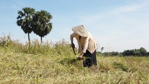 Bảo tồn lúa đặc sản Nàng Nhen