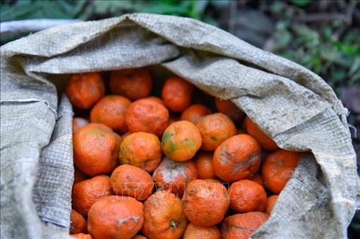 Phục hồi giống quýt bản địa ở Bá Thước, Thanh Hoá