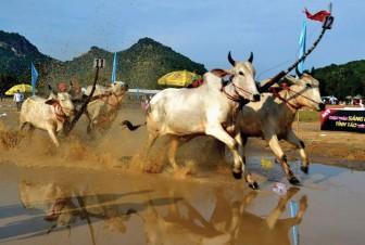 Nghe nghệ nhân đua bò Bảy Núi kể chuyện trâu ở Tây Ninh