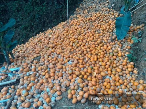 Hà Giang: Xót xa 3.000 tấn cam rụng đỏ vườn, lăn xuống cả đường đi, chủ vườn tất tả tìm người mua