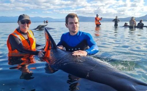 Giải cứu 40 con cá voi mắc cạn ở New Zealand