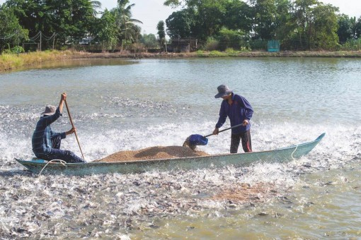 Giá thức ăn chăn nuôi cá tra tăng
