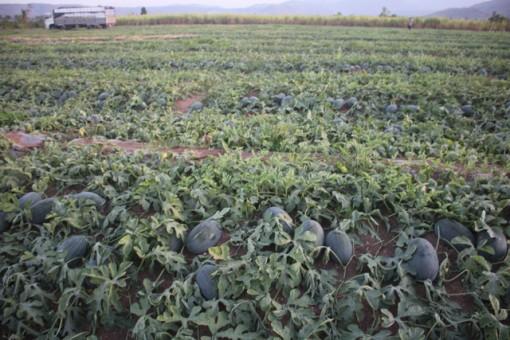 Gia Lai: Giá dưa hấu tăng nhanh, nông dân vùng dịch Covid-19 thở phào, còn lãi 70 triệu đồng/ha