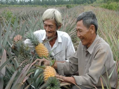 Giá khóm tăng mạnh suốt từ Tết, nông dân lãi 100 triệu đồng/ha, thương lái dự báo điều gì?