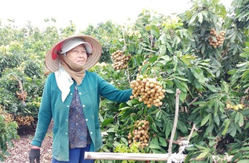 Đắk Nông: Tuyệt chiêu trồng thứ cây thích cho ra trái lúc nào cũng được, một ông nông dân thu 400 triệu/năm