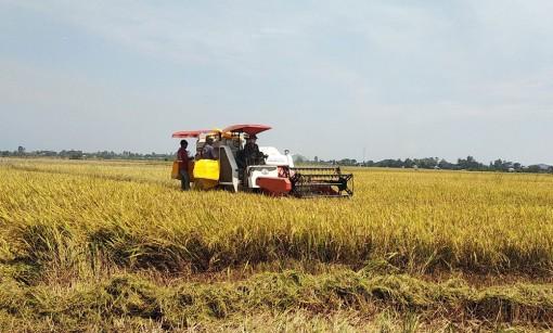Phát triển vùng chuyên canh nếp Phú Tân