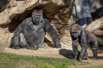 Đười ươi và linh trưởng tại vườn thú Mỹ được tiêm thử nghiệm vaccine Covid-19