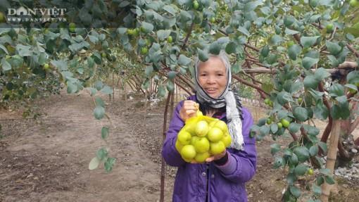 Thái Bình: Đổi đời nhờ trồng thứ táo trái to như quả trứng gà, vàng như màu nắng mới