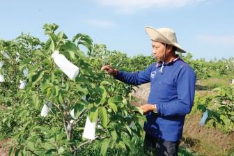 Triển vọng mô hình trồng cây na Thái trên đất phèn