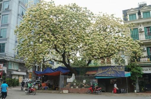 """Choáng ngợp cây bún 300 tuổi """"báu vật độc nhất vô nhị"""" ở Hà Nội"""