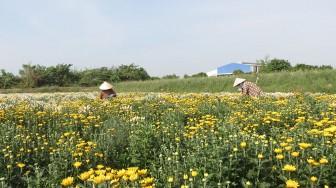 Trồng hoa cúc rải vụ mang lại hiệu quả kinh tế cao