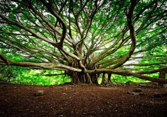 Cây đa khổng lồ nhất thế giới tuổi đời 250 năm, tán cây phủ rộng 14.000 m<sup>2</sup>