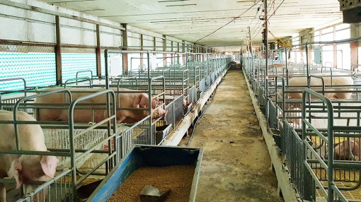 Phát huy hiệu quả ngành chăn nuôi