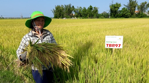 Quảng Ngãi: 2 giống lúa mới đẻ bông nặng trĩu hạt, nông dân bất ngờ về năng suất