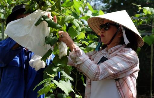 Đồng Nai: Trồng nho Nhật Bản với 6 giống nho khác nhau, hái bán 300.000-500.000 đồng/kg