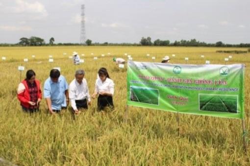4 giống lúa triển vọng được nông dân chọn