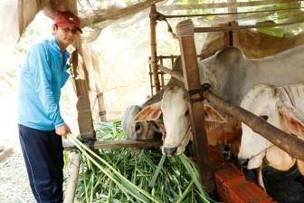 Hiệu quả từ mô hình nuôi bò thịt
