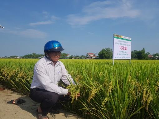 Quảng Nam: Nhiều giống lúa mới triển vọng, được mùa trĩu hạt, nông dân thích mê