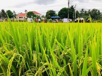 Quảng Nam: Nông dân thích thú giống lúa TBR97 vì những lí do này