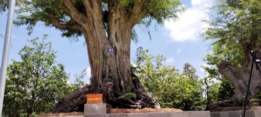 Chiêm ngưỡng cây me khủng trên 200 năm tuổi đạt kỷ lục Việt Nam