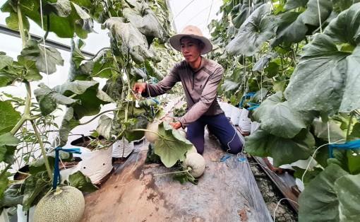 Phú Tân: Trồng dưa lưới hiệu quả trên đất lúa