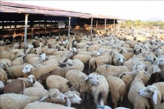 Giá dê, cừu tại Ninh Thuận cao nhất từ đầu năm