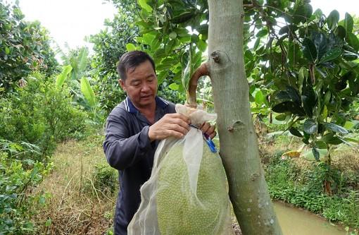 Trồng mít Thái mỗi năm cho thu nhập 300 triệu đồng