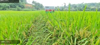 """Giống lúa gì mà vừa cấy vụ đầu, lúa đẹp như tranh, nông dân đất Tổ """"mê tít""""?"""