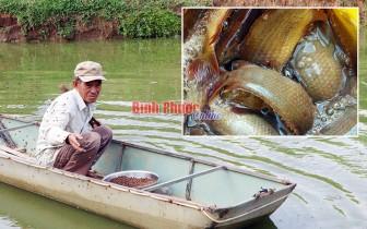 Bình Phước: Nuôi cá rô đồng trong cái ao 300m2, cứ 1 năm bắt bán 4 tấn, thương lái không nhanh chân là hết