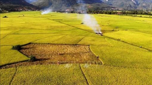 Nhiều lợi ích từ sản xuất lúa hữu cơ trên cánh đồng Mường Tấc
