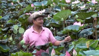 Trồng sen ở Phú Hiệp cho thu nhập ổn định