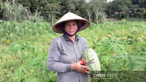 Thái Nguyên: Lạ đời, trồng dưa hấu xen đu đủ, không ngờ trái nằm la liệt, hái mỏi cả tay