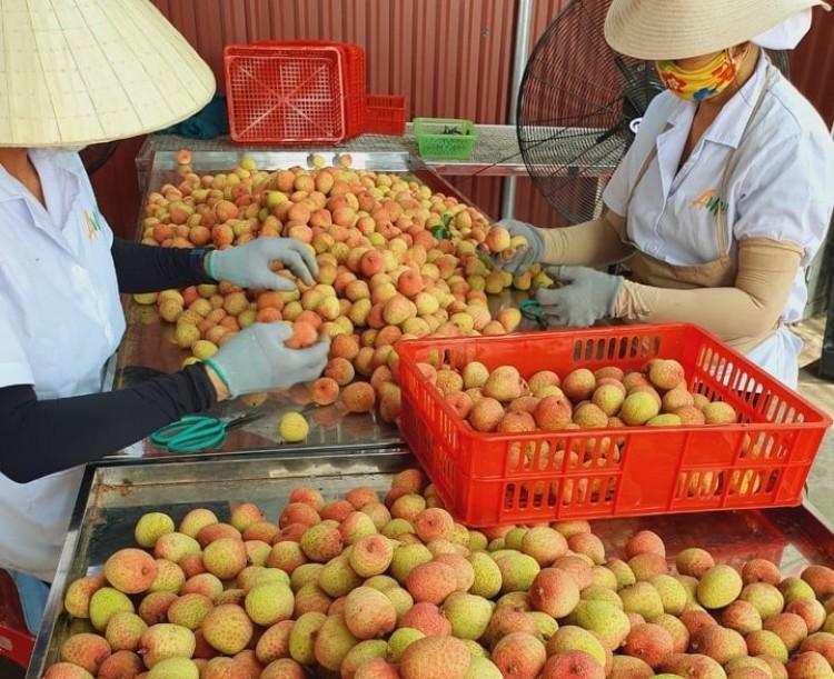 Loại quả vang danh khắp Việt Nam, là đặc sản nức tiếng đang được bán với giá cao ngất ở nước ngoài