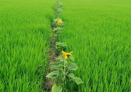 Tri Tôn tận dụng lợi thế trồng trọt