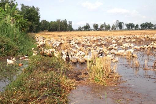 Khai thác hiệu quả chăn nuôi