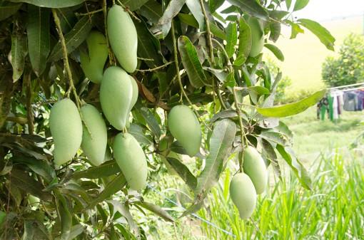 Diện tích cây ăn trái của huyện Tri Tôn tăng khá