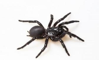 Nghiên cứu khả năng dùng nọc độc nhện cứu người nhồi máu cơ tim