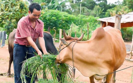 Liên kết chăn nuôi bò