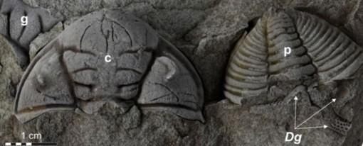 Bọ ba thùy bị khoét mắt khi đối đầu với bọ cạp biển 450 triệu năm trước