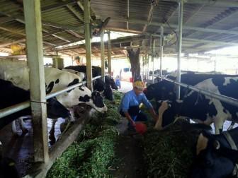 Chị nông dân Hà thành nuôi 24 con bò sữa, thu lãi nhẹ nhàng 30 triệu đồng mỗi tháng