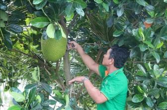 Giá mít Thái tăng gấp đôi giúp nông dân thêm thu nhập
