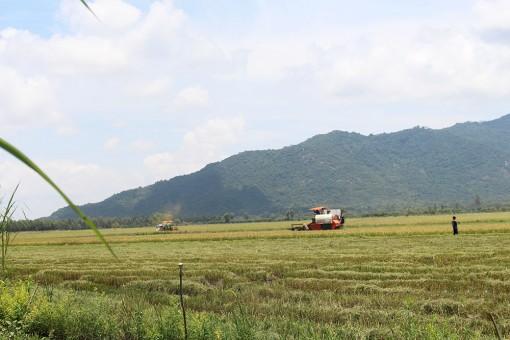 Giá lúa giảm 400-500 đồng/kg do tiêu thụ khó khăn