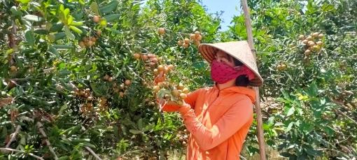 Hiệu quả kinh tế từ trồng nhãn xuồng cơm vàng