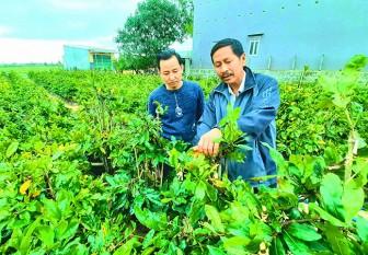 Bình Định: Trồng mai vàng kiểu khác người, ông nông dân thu gần nửa tỷ mỗi năm