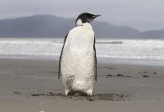 Dự báo 98% chim cánh cụt Hoàng đế biến mất vào năm 2100